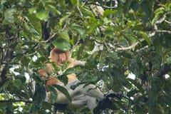 Humanoid-männliche Nasenaffe, die innerhalb des Baums sitzt Lizenzfreie Stockbilder