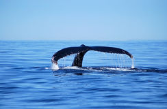 Humback whale. Shows flukee in Tadoussac, Canada royalty free stock image