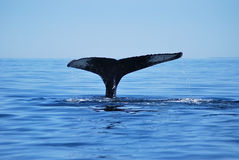 Humback whale Stock Images