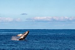 Humback whale calf breaching in polynesia. Humback whale calf breaching in french polynesia stock photography