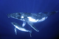 Humback whales. Humpback whale mother and calf Royalty Free Stock Image