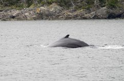 Humback whales 1. The world's largest population of humpback whales return each year to Newfoundland and Labrador waters to feed on capelin, krill, and stock photo