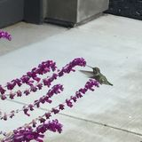 Humbird Royaltyfria Bilder