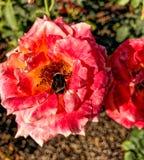 Humble-abeille mignonne sur la rose Photographie stock libre de droits