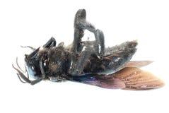 Humble bee Royalty Free Stock Image