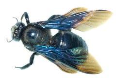 Humble bee Royalty Free Stock Photos