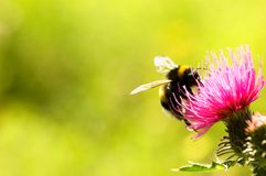 Humble bee Royalty Free Stock Photography