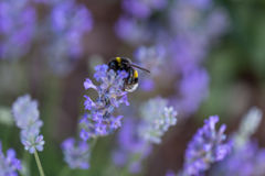 Humble-bee bumble bee in a field of lavander flowers blurred background close up macro Stock Image
