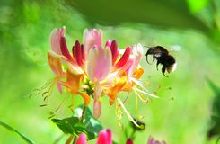 Humble bee Stock Photo