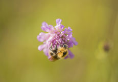 Humble bee on the purple flower Royalty Free Stock Photo