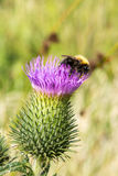 Humble bee on purple thistle. Close up of Humble bee on purple thistle Royalty Free Stock Photos