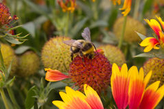 Humble-bee searching for nectar Royalty Free Stock Photos