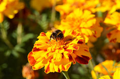Humble-bee on tagetes Stock Photos