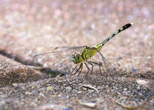 Humble dragonfly on the footpath bricks royalty free stock image