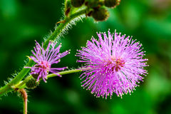 Humble plant flowers in early morning Royalty Free Stock Photography