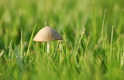 Humble roof. Small mushroom in the grass Stock Photo