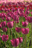 Humble tulips Royalty Free Stock Images
