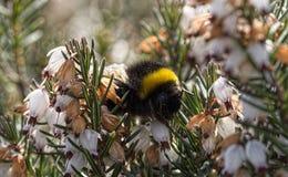 Humblebee zbliżenie Fotografia Royalty Free