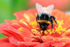 Humblebee and zinnia flower Royalty Free Stock Photos