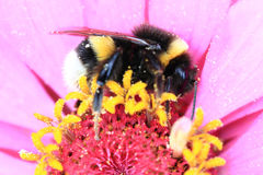 Humblebee and zinnia flower Stock Photography