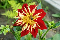 Humblee蜂坐一朵唯一红色大丽花花在庭院里 在花蜂收集花蜜 免版税库存照片
