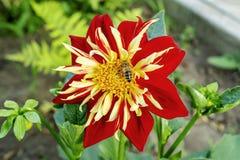 Humblee-abeja que se sienta en una sola flor roja de la dalia en un jard?n En una flor la abeja recoge el n?ctar fotos de archivo libres de regalías