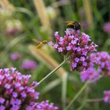Humblee-bee sitting on lilac flower. Lilac flowers on the green grass background royalty free stock image