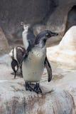 Humbold penguin or Spheniscus humboldti Stock Photos