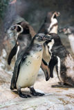 Humbold penguin or Spheniscus humboldti Royalty Free Stock Photography