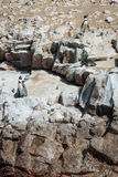 Humbold Penguins, Paracas natural reserve, Peru Royalty Free Stock Images