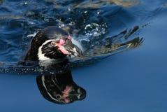 humboldt企鹅游泳 库存照片