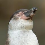 humboldt企鹅的特写镜头 免版税图库摄影