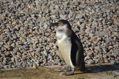 Humboldt企鹅 免版税库存照片
