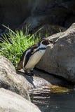 Humboldt企鹅 库存照片