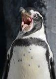 humboldt企鹅s呼喊 免版税库存照片