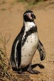 humboldt企鹅s 都伯林动物园 爱尔兰 免版税库存图片