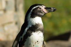 humboldt企鹅s 免版税图库摄影