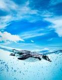 humboldt humboldti penguin spheniscus στοκ εικόνες με δικαίωμα ελεύθερης χρήσης