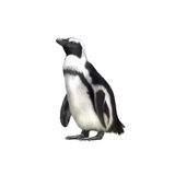 Humboldt, Magellanic species of penguin Stock Photos