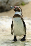 Humboldt Penguin – (Spheniscus humboldti). Morning, the penguin costs on coast of Atlantic ocean Royalty Free Stock Image