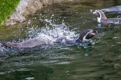 Humboldt penguin, ζωολογικός κήπος του Κάλγκαρι, Κάλγκαρι, Αλμπέρτα, Καναδάς στοκ εικόνα με δικαίωμα ελεύθερης χρήσης