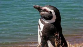 Humboldt Penguin που παίρνει ένα λουτρό ήλιων απόθεμα βίντεο