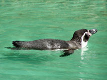 Free Humboldt Penguin Royalty Free Stock Photos - 14379978
