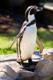Humboldt Penguin. Posing in front of the camera Stock Images