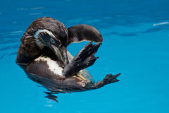 Free Humboldt Penguin Stock Images - 20662264