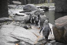 Humboldt penguin Royalty Free Stock Photos