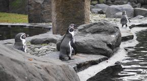 Humboldt penguin Royalty Free Stock Image
