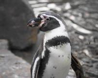 Humboldt Penguin Stock Image