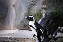 Humboldt Penguin. Spheniscus humboldti in Singapore Zoo Royalty Free Stock Photography