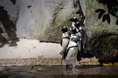 Humboldt Penguin. Spheniscus humboldti in Singapore Zoo Royalty Free Stock Images